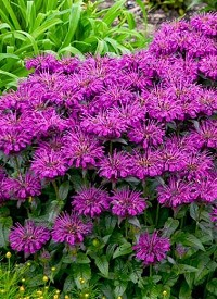 Monarda Sugar Buzz 'Grape Gumball'