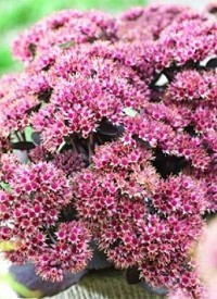 Sedum telephium 'Seduction Brown - Red'('Cherry Chocolate')
