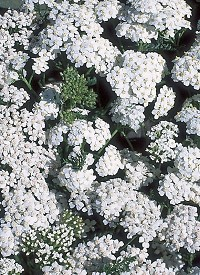 Achillea 'New Vintage White'