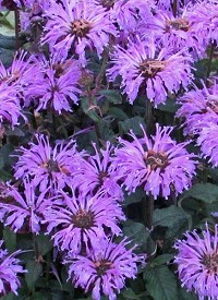 Monarda Suger Buzz 'Blue Moon'