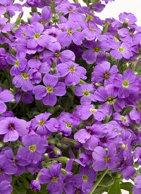 Aubrieta 'Audrey Light Blue'