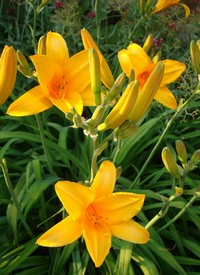 Hemerocallis 'Reverend Traub'